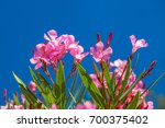 Nerium Oleander Flowers On A...