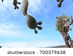 prickly pear cacti on santa fe... | Shutterstock . vector #700379638