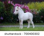 American Miniature Horse....