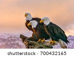 Three american bald eagles...