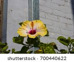 bright yellow suffused with...   Shutterstock . vector #700440622