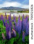 focus blended lake tekapo lupin ... | Shutterstock . vector #700521826