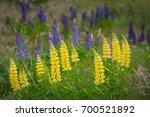 yellow lupine flower in new... | Shutterstock . vector #700521892