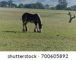 An Adult Draught Horse Grazing...