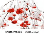 Branches Of Mountain Ash In The ...