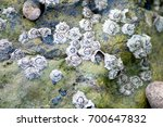 Small photo of Acorn barnacles on a rock protruding from shallow seawater.