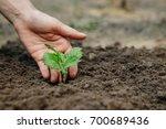 women's hands put a sprout in... | Shutterstock . vector #700689436