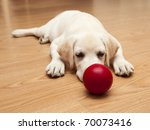 Stock photo labrador retriever puppy lying on the floor and playing with a red ball 70073416