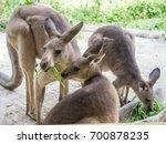 Group Of Kangaroos Feeding In...