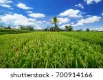 green rice ears ripening on... | Shutterstock . vector #700914166