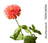 Zinnia Flower   Zinnia Gracefu...