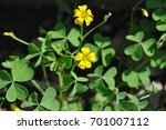 Wood Sorrel Plant With Bloomin...