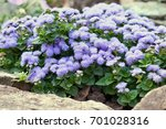 Small photo of Ageratum in stones
