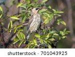 closeup of a very young cedar... | Shutterstock . vector #701043925