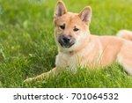 beautiful young red shiba inu... | Shutterstock . vector #701064532