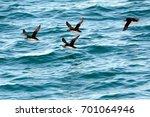 atlantic puffins  faxa bay ... | Shutterstock . vector #701064946
