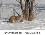 canadian lynx  lynx canadensis  ...   Shutterstock . vector #701083756