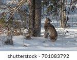 canadian lynx  lynx canadensis  ...   Shutterstock . vector #701083792