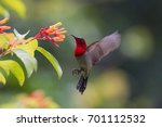 crimson sunbird.southern... | Shutterstock . vector #701112532