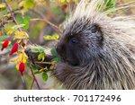 american porcupine erethizon... | Shutterstock . vector #701172496