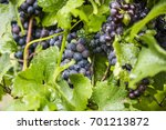 blue grapes in vine yard  | Shutterstock . vector #701213872