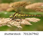 female european black tailed...   Shutterstock . vector #701267962
