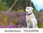 Dog In Flowering Pink Heather.