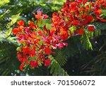 Flamboyant Tree Flowers  Royal...