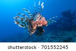 Venomous Lion Fish In The Red...