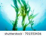 Three Strands Of Kelp Wave...