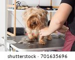 yorkshire terrier dog on a