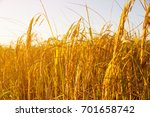 rice field sunset  | Shutterstock . vector #701658742