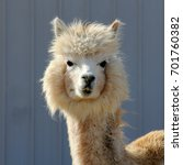 white alpaca   photograph of a...