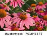 Purple Coneflower With Bumblebee