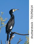 great cormorant on a branch | Shutterstock . vector #70190614