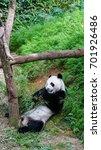 Small photo of A giant panda (Ailuropoda melanoleuca) eating bamboo in the zoo.