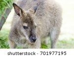 closeup of a young kangaroo | Shutterstock . vector #701977195