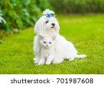 Stock photo maltese puppy hugging chinchilla cat on green grass 701987608