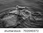 seagull isolated in black and... | Shutterstock . vector #702040372