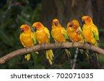 Sun Conure Parakeets  Aratinga...