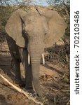 young bull elephant in balule ... | Shutterstock . vector #702103486