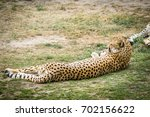 leopard sleeping in the sun on... | Shutterstock . vector #702156622