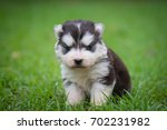 Stock photo cute siberian husky puppy sitting on grass 702231982