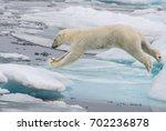 polar bear jumping across ice...   Shutterstock . vector #702236878