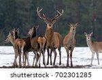 adult great deer  cervus... | Shutterstock . vector #702301285