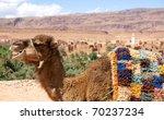 dromedary camel in morocco - stock photo