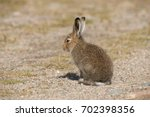 Stock photo young mountain hare lepus timidus basking in the rays of the autumn sun tundra hare or white 702398356
