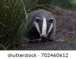 badger emerging from sett in... | Shutterstock . vector #702460612