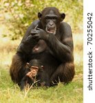 Chimpanzee Baby With Mother...
