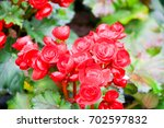 Small photo of Bright red flowers have acumen, love, determination, madness, leadership